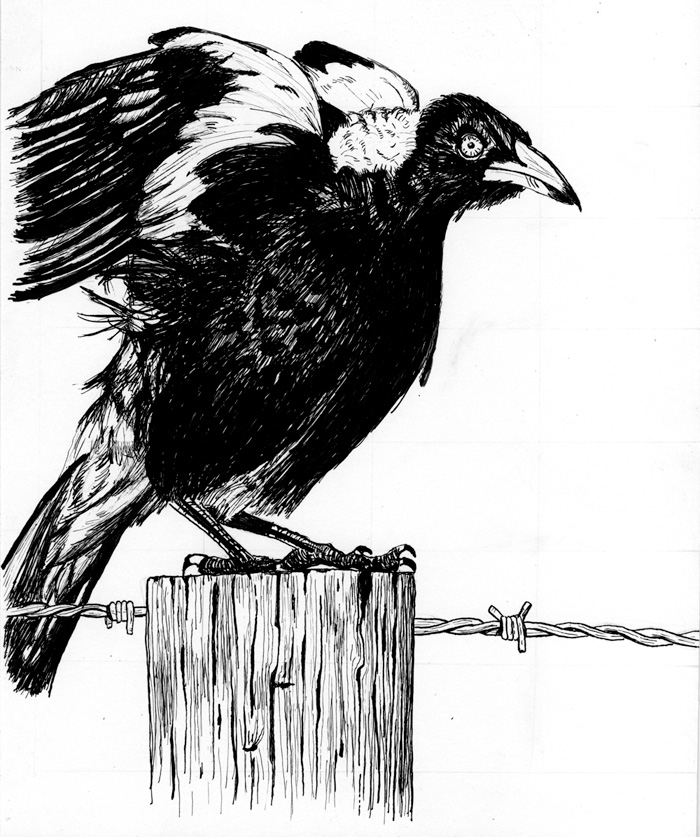 NickCave_Magpie_drawing_lowres